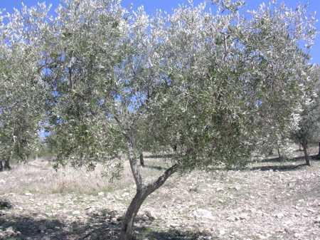 Potare gli ulivi ii i dettagli for Aiuola con olivo